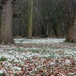 Picture perfect snowdrops in Shropshire