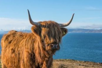 Highland_Cow_NC500_c._VisitScotland__Kenny_Lam_all_rights_reserved.jpg